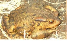 THE POISON TOAD IN YOUR GARDEN here in Andalucia
