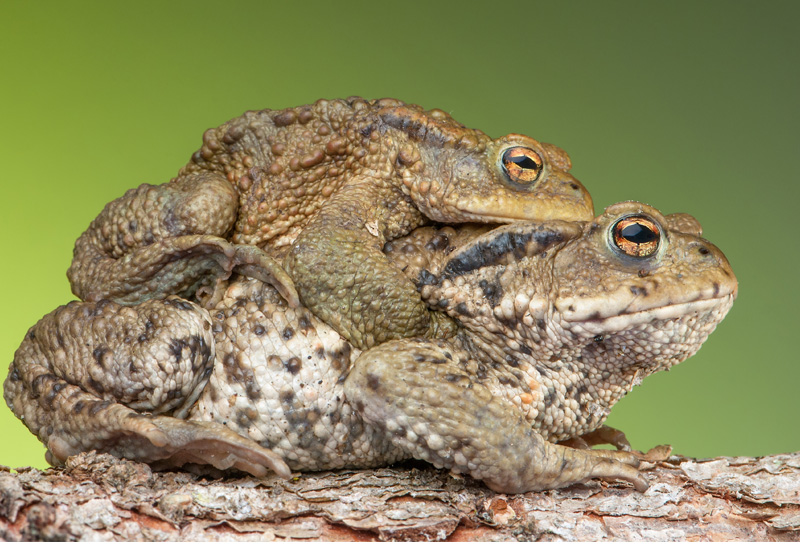 The Poisonous toad in your garden, here in Andalucia